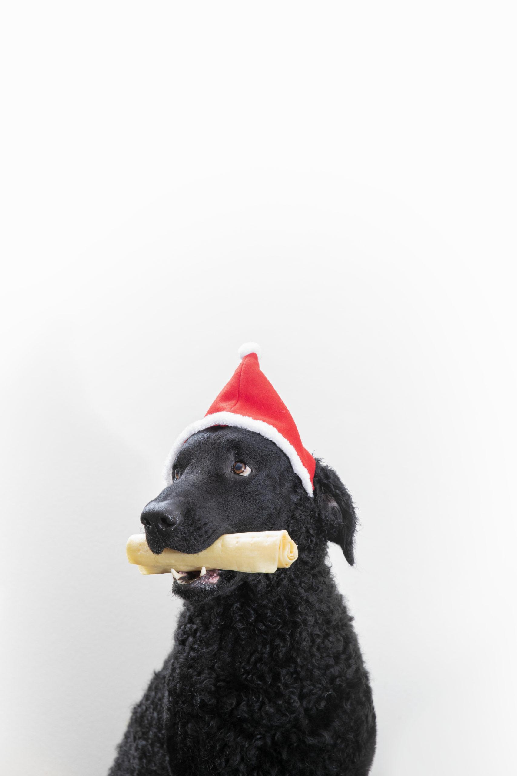 Kahdeksan vinkkiä onnistuneisiin joulukorttikuviin koiran kanssa