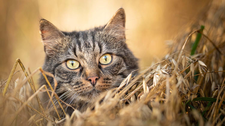 Maatiaskissa kaurapellolla katsoo eteenpäin, isot keltaiset silmät