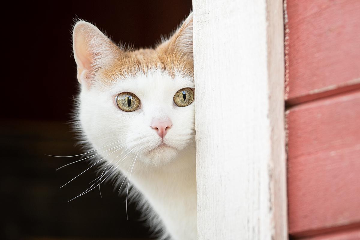 Valkoinen kissa kurkistaa punaisen seinän takaa.